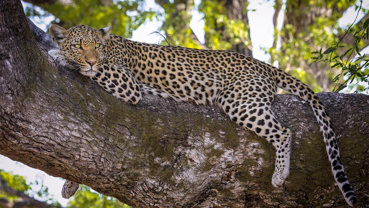 Leopard 1280x720